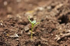 Облепиха алтайская: описание сорта, фото, отзывы