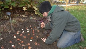 Посадка тюльпанов осенью в сибири