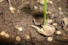 Яблоня лигол: описание, фото, отзывы