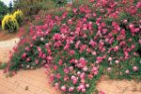 Почвопокровные розы, цветущие все лето: отзывы, описание + фото