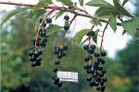Черемуха: фото и описание, виды, лучшие сорта, ягоды, когда цветет, где растет, размножение