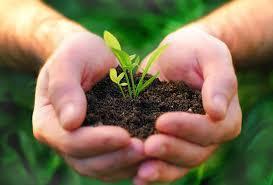 Растение лофант: сорта и виды, посадка и уход, полезные свойства