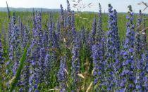 Медонос синяк: сроки сева, сколько лет растет, агротехника