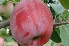 Яблоня флорина: описание, фото, отзывы