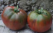 Сорта томатов, устойчивые к кладоспориозу