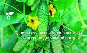 Пчелоопыляемые огурцы в открытом грунте