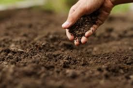 Чилим (водяной орех): описание, где растет в россии, фото