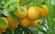Слива для ленинградской области и северо-запада: лучшие желтые сорта, самоплодные, низкорослые