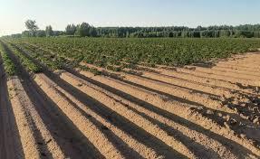 Сорта короткой и толстой моркови