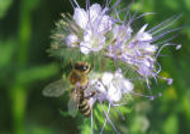 Фацелия как медонос для пчел