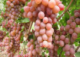 Ранние сорта винограда: описание + фото