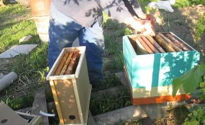 Пчелопакеты: что это такое, развитие, пересадка пчел в улей дадан