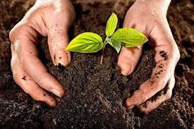 Размножение лимона черенками в домашних условиях: укоренение, посадка, выращивание
