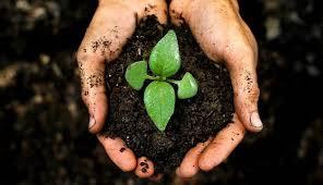 Сорт картофеля жуковский ранний: характеристика, отзывы