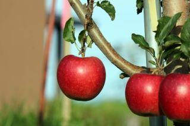 Яблоня старкримсон: описание сорта, фото, отзывы