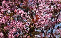Черемуха краснолистная: описание сортов, сибирская красавица, неубиенная, красный шатер, чемальская красавица, посадка и уход