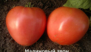 Томат малиновый звон: характеристика и описание сорта