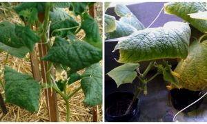 Почему листья у огурцов в теплице скручиваются