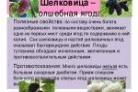 Шелковица (тутовник): полезные свойства для организма, противопоказания, калорийность