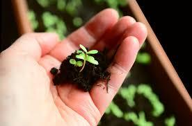 Сорта болгарского перца для открытого грунта с фото