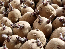 Яровизация картофеля перед посадкой сроки секреты