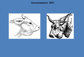 Как лечить актиномикоз у коров